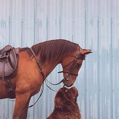 How cute is this photo, like if you have a dog too!  #dogs #dog #horses #horse #cute #pets #animals #equestrian #equestrianchic #equestrianstyle #riding #horseriding #dressage #horsesofinstagram #headcollar #earnet #horsestyle #equine #pony #rugs #coolers #puppy #rambo #amigo #saddle #saddlecloth #gloves #horselove