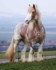 SALLY - Wonderful irish cob mare for sale : Domaine du Vallon, France