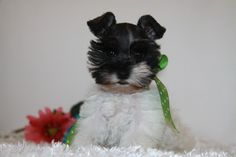 schnauzer puppies   Toy, Teacup and Miniature Schnauzer Puppies For Sale - Oklahoma