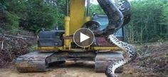 live anaconda hanging on machine