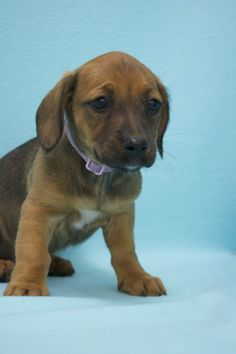 Praline, an adoptable mutt in Broomfield, CO! www.muttsavers.org