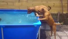 Two Dogs Play In Pool