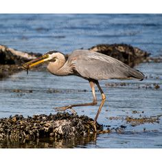 Great Blue Heron photo bird picture wildlife nature fishing bird 8 x... ($19) ❤ liked on Polyvore featuring home, home decor, blue home decor, fishing home decor, blue home accessories, bird home decor and wildlife home decor