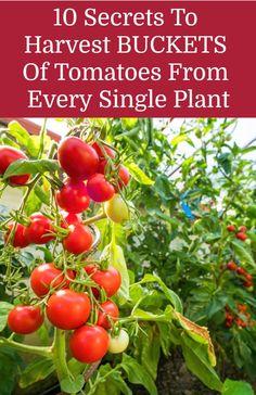 graines de tomates blue beech rouge sachets 30 graines culture procédé bio