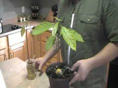 how to grow avocado trees from seed - great video