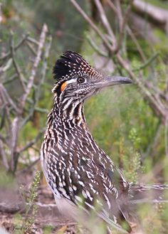 Roadrunner, New Mexico's state bird; desert bird.....mean sucker!  Among other things, they eat small birds!