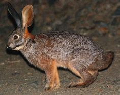 The riverine rabbit is critically endangered and is one of the rarest animals on the planet. it's also got an interesting diet, feeding on boegoe and ink bushes. Around half of its habitat has been destroyed, and the current population is estimated to be less than 250 breeding pairs. These rabbits are currently only found in the Karoo Desert in Cape Province, and the probability of extinction is projected to be over 50% in the next 100 years. africanbudgetsafaris.wordpress.com