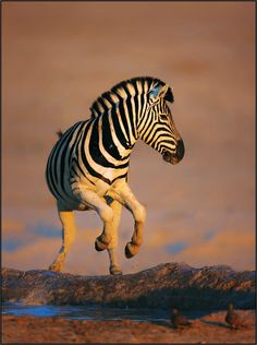 Zebra at waterhole ~ Etosha National Park in Namibia (Photo by Johan Swanepoel) Beautiful Creatures, Animals Beautiful, Zebra Pictures, Baby Animals, Cute Animals, African Animals, Fauna, Animal Kingdom, Pet Birds