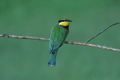 10,000 Birds | The Bee-eaters of Africa