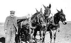 Working Mules