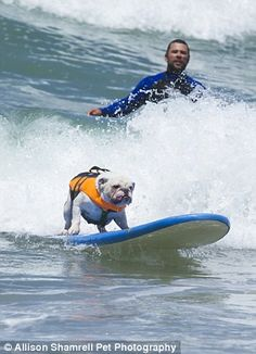 Surf's up, dawg! Tillman the world-famous skateboarding English bulldog rides to victory in canine SURFING contest