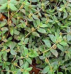 African Herbs, Plant Health, Health And Beauty Tips, Weed, Herbalism, Powder, Chakras, Saint, Quran
