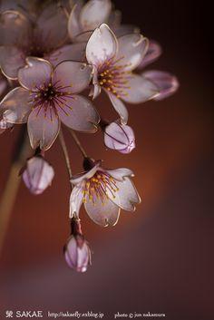 2017 桜 簪【 桜雲 】Cherry Blossom - Kanzashi, Hair Stick, Hair Pin, Hair Ornaments - by Sakae, Japan Photo by Jun Nakamura (www.studiokj.com)   Auction page ▶http://page19.auctions.yahoo.co.jp/jp/auction/x480387423  Flickr ▶http://www.flickr.com/photos/sakaefly