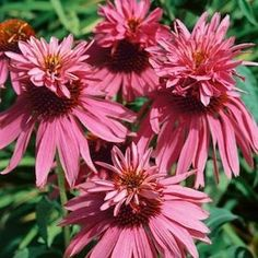 Double Decker Echinacea - Echinacea purpurea - The expected single coneflowers appear the first year, the big pay-off comes in years 2 and beyond when a high percentage of the flowers appear as 'twins,' making an impressive summertime show. Monarch butterflies perching on these unique flowers is a memorable sight. Sturdy stems make them excellent cut-flowers.
