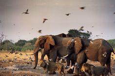The dramatic Chobe National Park, Botswana (Credit: Beverly Joubert/National Geographic Creative) Chobe National Park, National Parks, Ancient Astronomy, History Magazine, Okavango Delta, Park Pictures, Wild Birds, Exotic Pets, Wildlife Photography