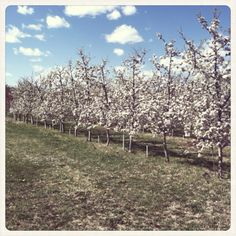 Apple trees at NMSU sustainable agriculture science center, Alcalde NM//April2012