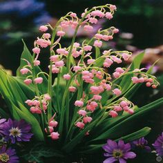 Convallaria majalis Pink - 5 plants buy online order now