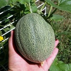 Largest of the 3 cantaloupes  growing in my front yard on my cheap improvised trellis, getting closer to full size  #cantaloupe #horticulture #gardening #fruitsandvegetables