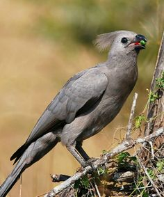 Grey Go-away Bird or Grey Lourie (Corythaixoides concolor). It is widespread in savannas of southern Africa.