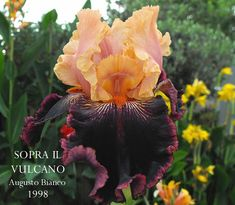 Border Bearded Iris SOPRA IL VULCANO ~ HERITAGE IRISES