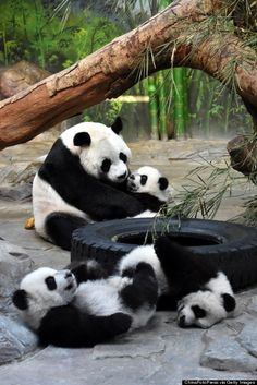 Worlds Only Panda Triplets Move In With Mom, Who Hugs Them Just Like Humans Do