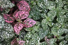 Confete (Hypoestes phyllostachys): Descrição, Cultivo, Paisagismo, Uso Ornamental