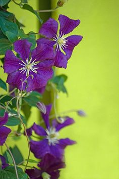 Beautiful purple clematis against lime green wall!  Stunning!