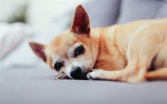 Download wallpapers Chihuahua puppy, small brown dog, companion dog, 4k, sofa