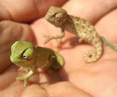 """Chameleon """"look, we've landed on a new planet"""". Chameleon let's call it handland"""". chameleon """"how about gianthandland. it's so big"""" Cute Creatures, Beautiful Creatures, Animals Beautiful, Cute Baby Animals, Animals And Pets, Funny Animals, Wild Animals, Mundo Animal, My Animal"""