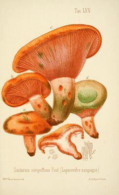 Lactarius sanguifluus. I funghi mangerecci e velenosi dell'Europa media. Trento,G. Zippel,1906.  Biodiversitylibrary. Biodivlibrary. BHL. Biodiversity Heritage Library