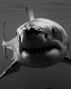great white black and white