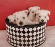 Westie Pups 5 weeks old.