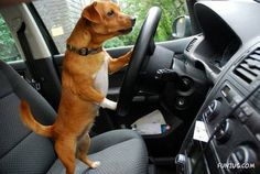 dogs in cars   Funzug.com   Dogs Can Also Drive Cars   Some, Dogs, Drivers, Like ...