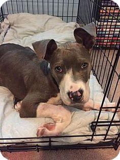 Dallas, GA - Pit Bull Terrier. Meet Eve, a puppy for adoption…