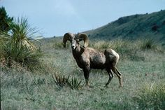 Desert bighorns to be introduced into Big Bend Ranch State Park . Texas Parks, State Parks, Texas Animals, Dik Dik, Big Horn Sheep, Hunting Pictures, Fish Camp, Le Far West, What Goes On