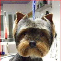 Cute cute but needs hair trimmed between eyes Grooming Yorkies, Dog Grooming Styles, Grooming Shop, Dog Grooming Tips, Dog Grooming Business, Creative Grooming, Yorkie Hairstyles, Asian Dogs, Dog Emoji