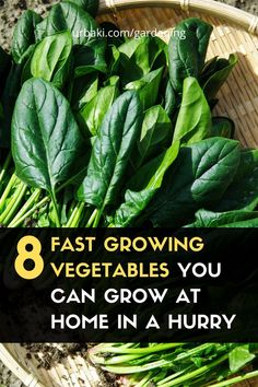 In this video, I give you 8 fast-growing vegetables that you can grow at home quickly. The 8 vegetables that you can easily grow are: Radish, Pak Choi, Arugula, Loose Leaf Lettuce, Mustard, Peas, Chives, Perpetual Spinach. #urbakigardening #gardening #fastgrowingvegetables #homegardening #plantingvegetables