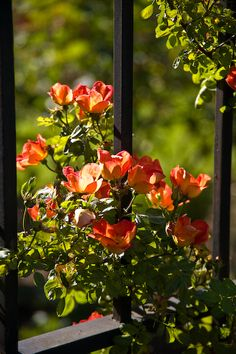'Austrian Copper' rose (Rosa Foetida) on iron fence, backlit, late May