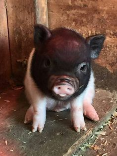 pet pig full grown -- CLICK Visit link above for more options Cute Baby Pigs, Cute Piglets, Baby Piglets, Cute Little Animals, Little Pigs, Teacup Pigs, Pet Pigs, Tier Fotos, My Animal