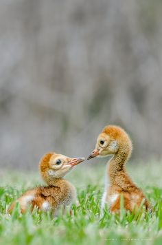 Love Like No Other | ©Cindy J Bryant |  Two Sandhill Crane Colts (Baby Birds)