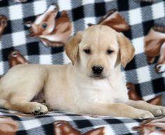 Taco | Labrador Retriever - Yellow Puppy For Sale | Keystone Puppies Visit forlabradors.com for more !