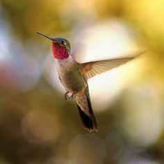 Caught In Flight  #hummingbird