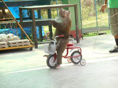 Een fietsende aap tijdens de apenshow in het Monkey Centre