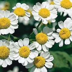 "Feverfew  ZONE: 5 - 9  EXPOSURE: Full Sun  SIZE: 18""H x 18""S  BLOOM: White, Summer  POT SIZE: 3.5"" Pot  Feverfew can be planted in full sun to part shade and will grow 24-36"" tall."