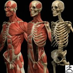 Exceptional Drawing The Human Figure Ideas. Staggering Drawing The Human Figure Ideas. Human Anatomy Drawing, Human Body Anatomy, Muscle Anatomy, Anatomy Art, Anatomy Organs, Heart Anatomy, Anatomy Models, Anatomy For Artists, Anatomy Reference