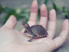 eloise (by haleyluna) by the by, heres our hatchling box turtle, eloise. Cute Baby Turtles, Small Turtles, Cute Baby Animals, Pet Turtle, Tiny Turtle, Turtle Love, Cute Animal Videos, Cute Animal Pictures, Annoyed Cat