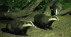 Image result for wild badger
