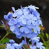 Plumbago auriculata - Plumbago, Cape Leadwort, Cape Plumbago - Hawaiian Plants and Tropical Flowers Tropical Garden, Hawaiian Plants, Blue And Purple Flowers, Plants, Sweet William Flowers, Rare Flowers, Hawaiian Flowers, Tropical Flowers, Flowers