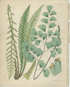 Maidenhair Fern Print, Reproduction Antique Botanical 16, 1851, British Natural History, Fitch, Library Decor