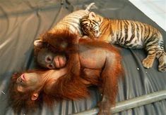 Interspecies Love: Baby Tigers and Orangutans, Oh My! - Squee daily at these cute animals and the absolute cutest animal pics and gifs ever known to man. Baby Animals Pictures, Cute Animal Pictures, Cute Baby Animals, Animal Pics, Wild Animals, Animal Babies, Funny Animals, Animal Video, Funny Pictures